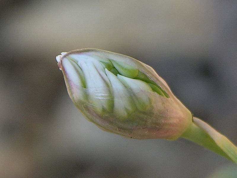 Wild Garlic Bud